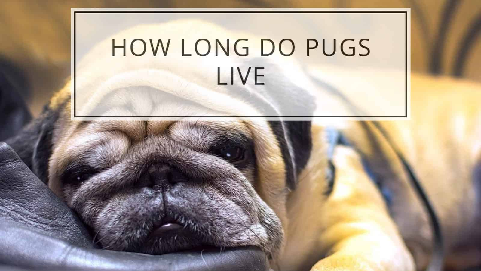 how long do pugs live