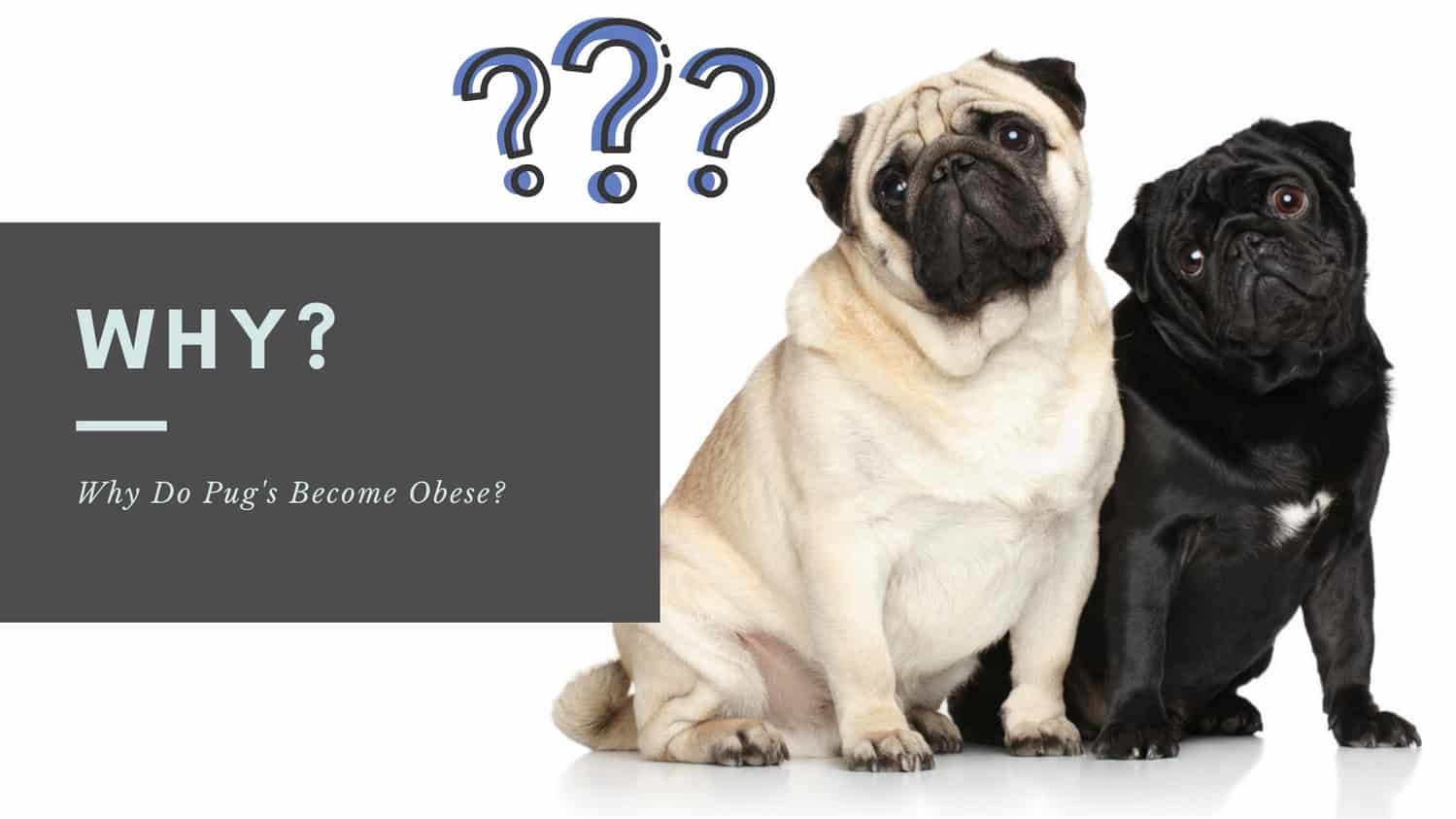 Why Do Pug's Become Obese?