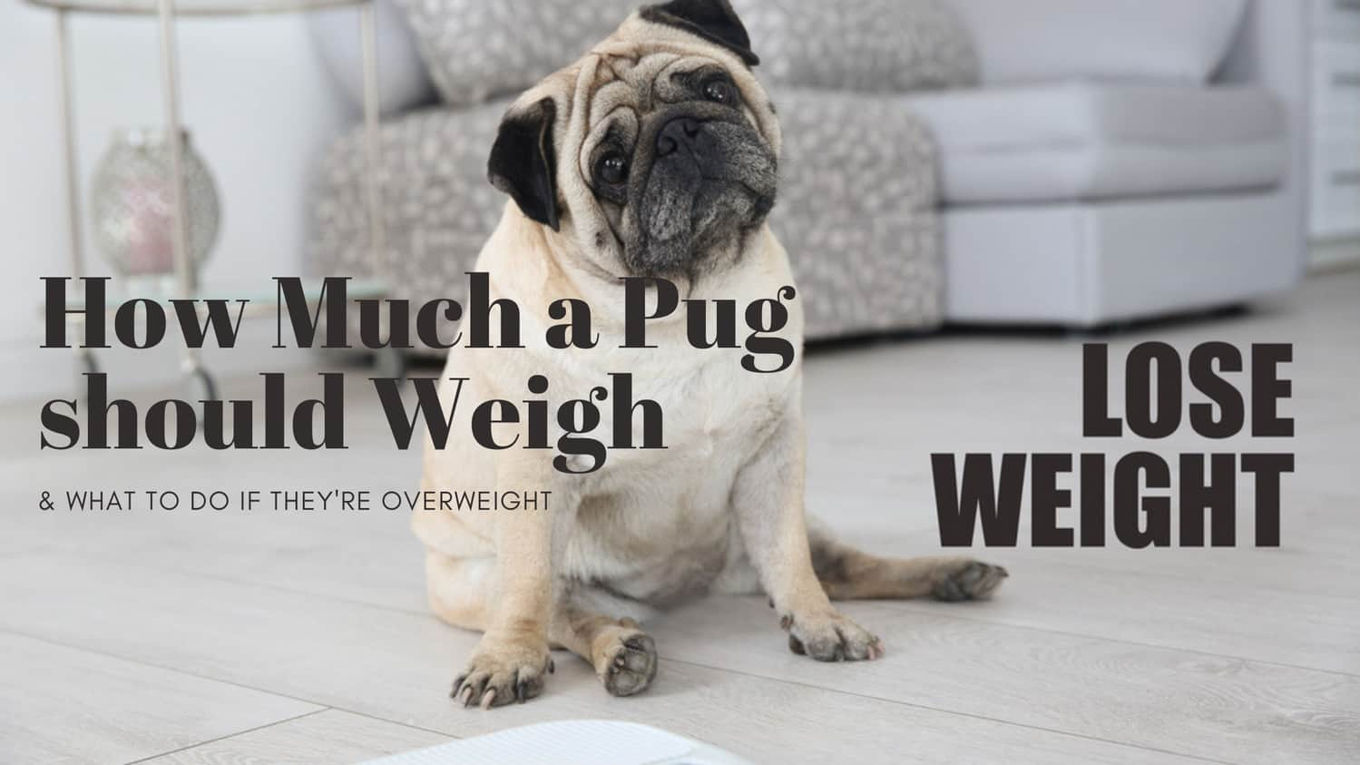 How Much a Pug should Weigh