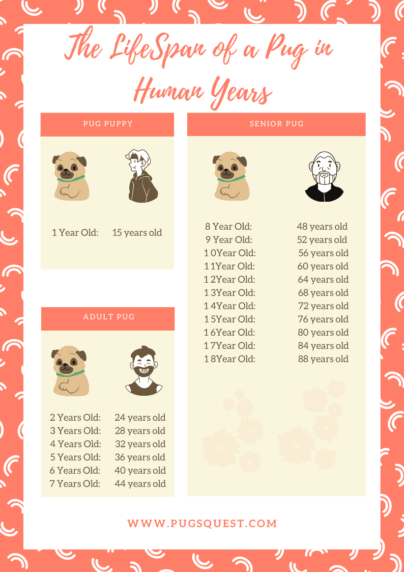 pugs in human age