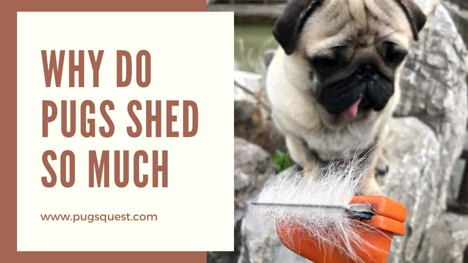 pug shedding