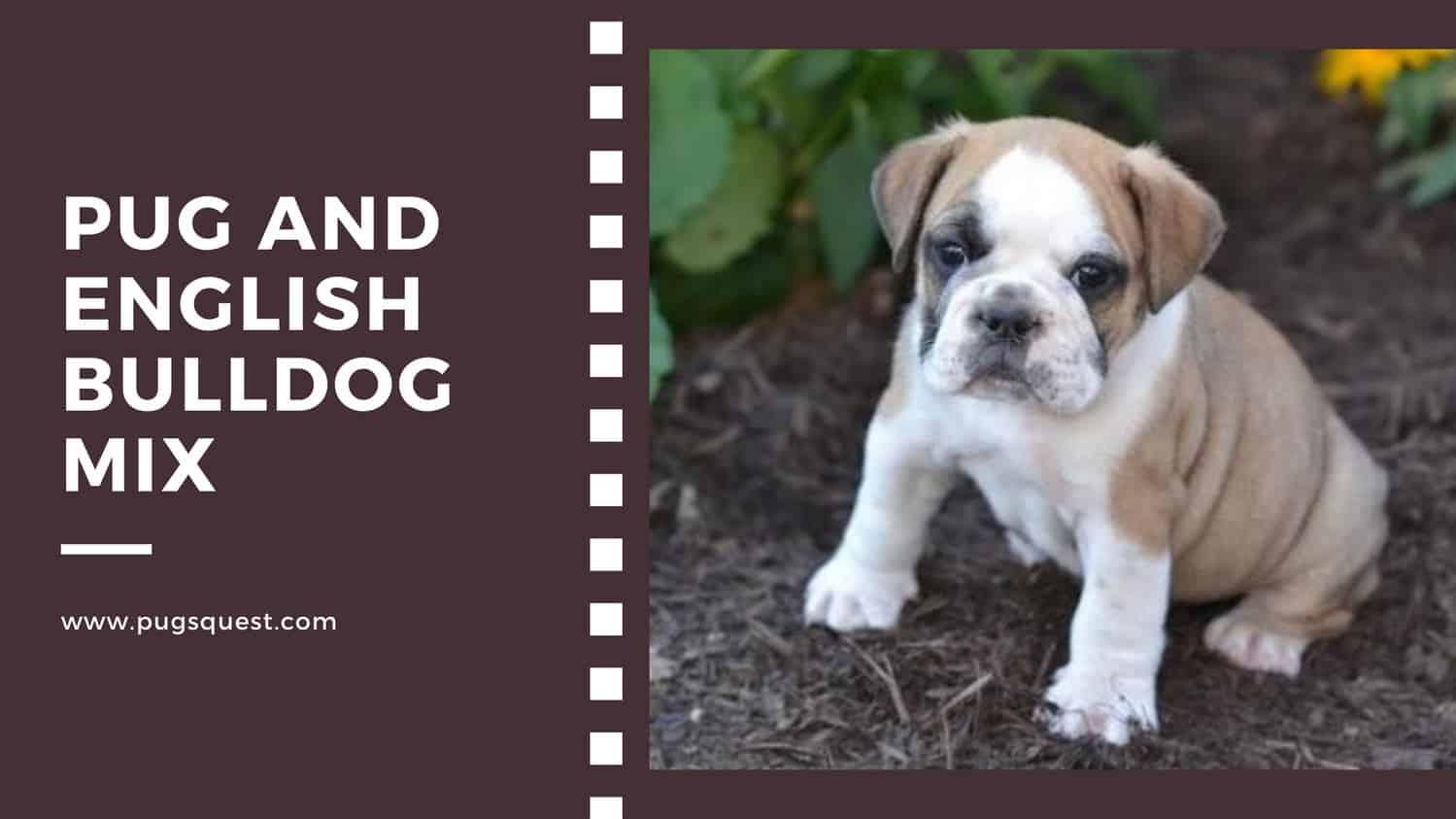 Pug and english bulldog mix