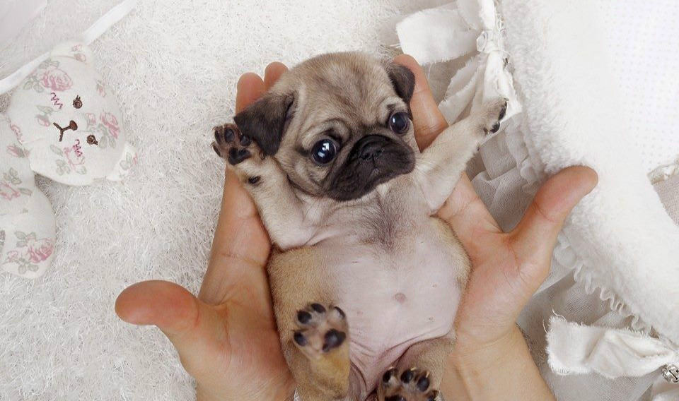 what is a teacup pug