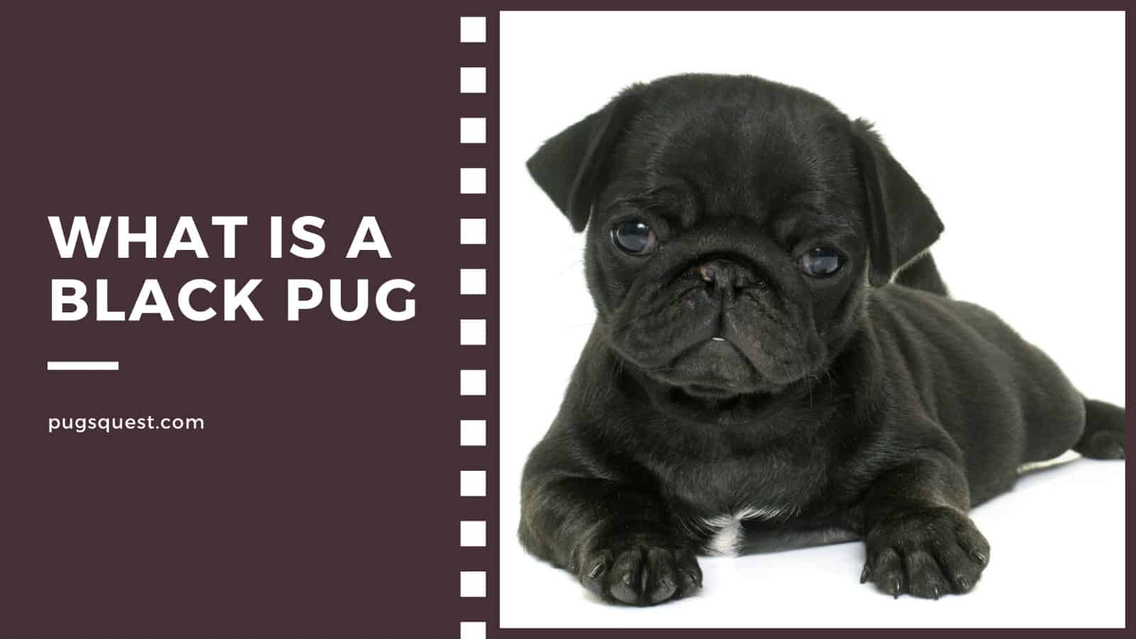 what is a black pug