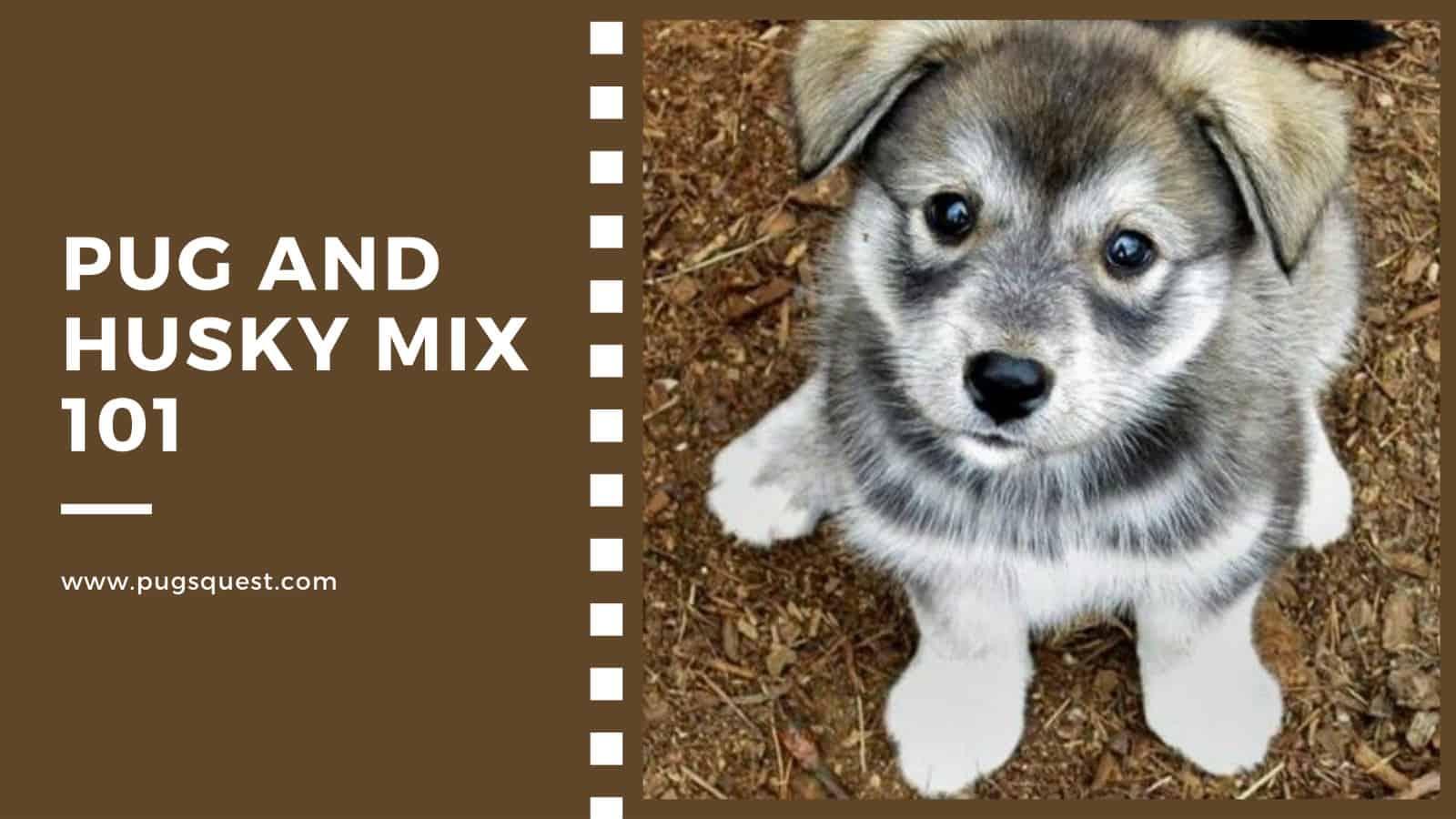pug and husky mix