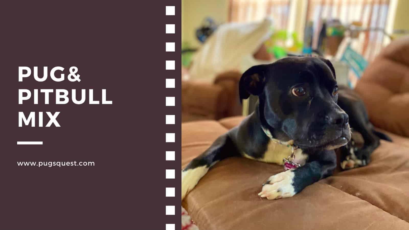 Pug& pitbull mix