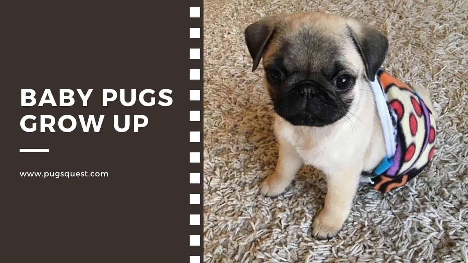 Baby pugs grow up