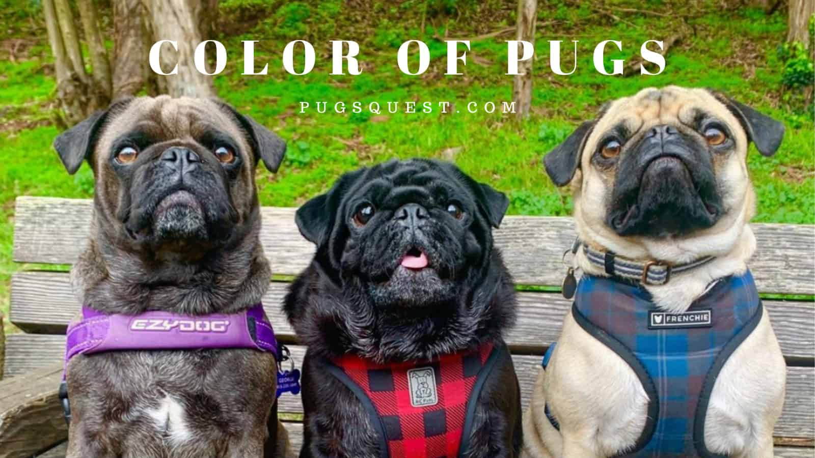 COLOR OF PUGS
