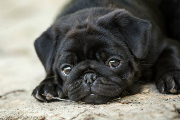 black Pugs