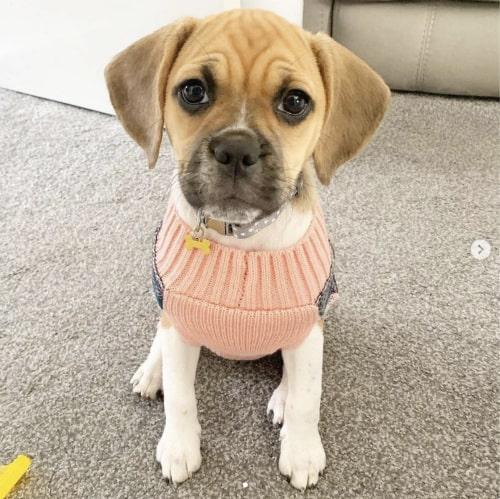 Pug Beagle mix