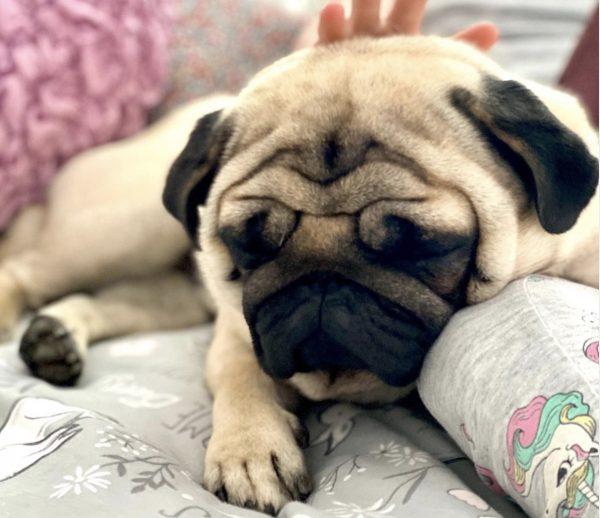 pug eat and muzzle