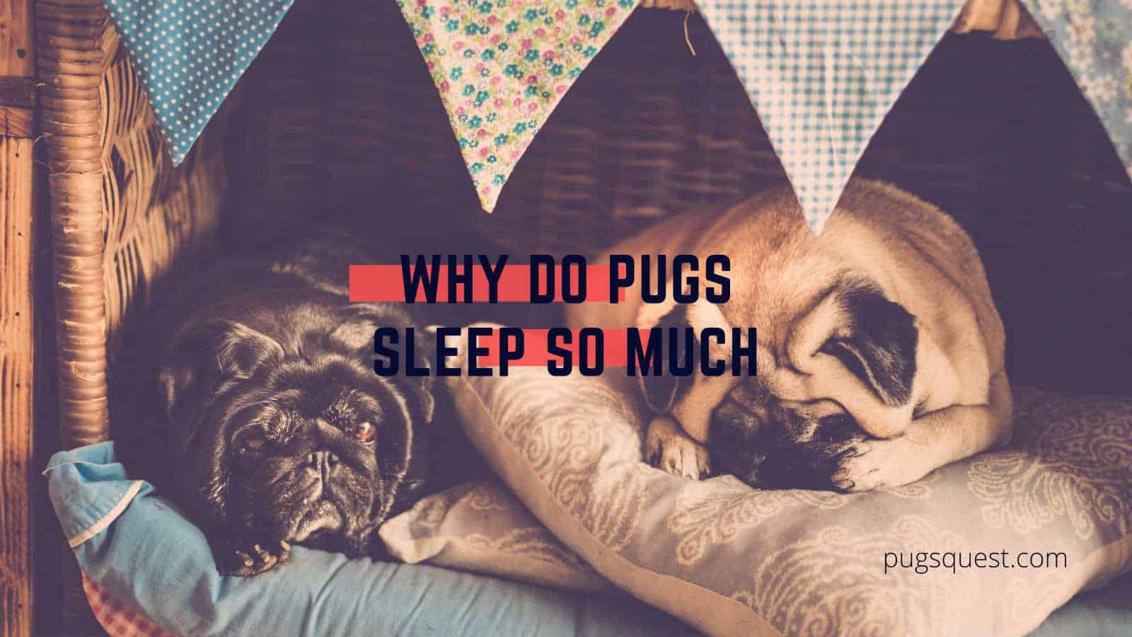 why do pugs sleep so much
