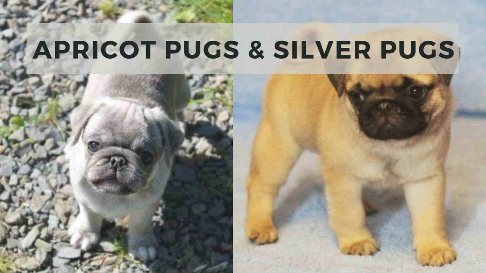 apricot pugs and silver pugs