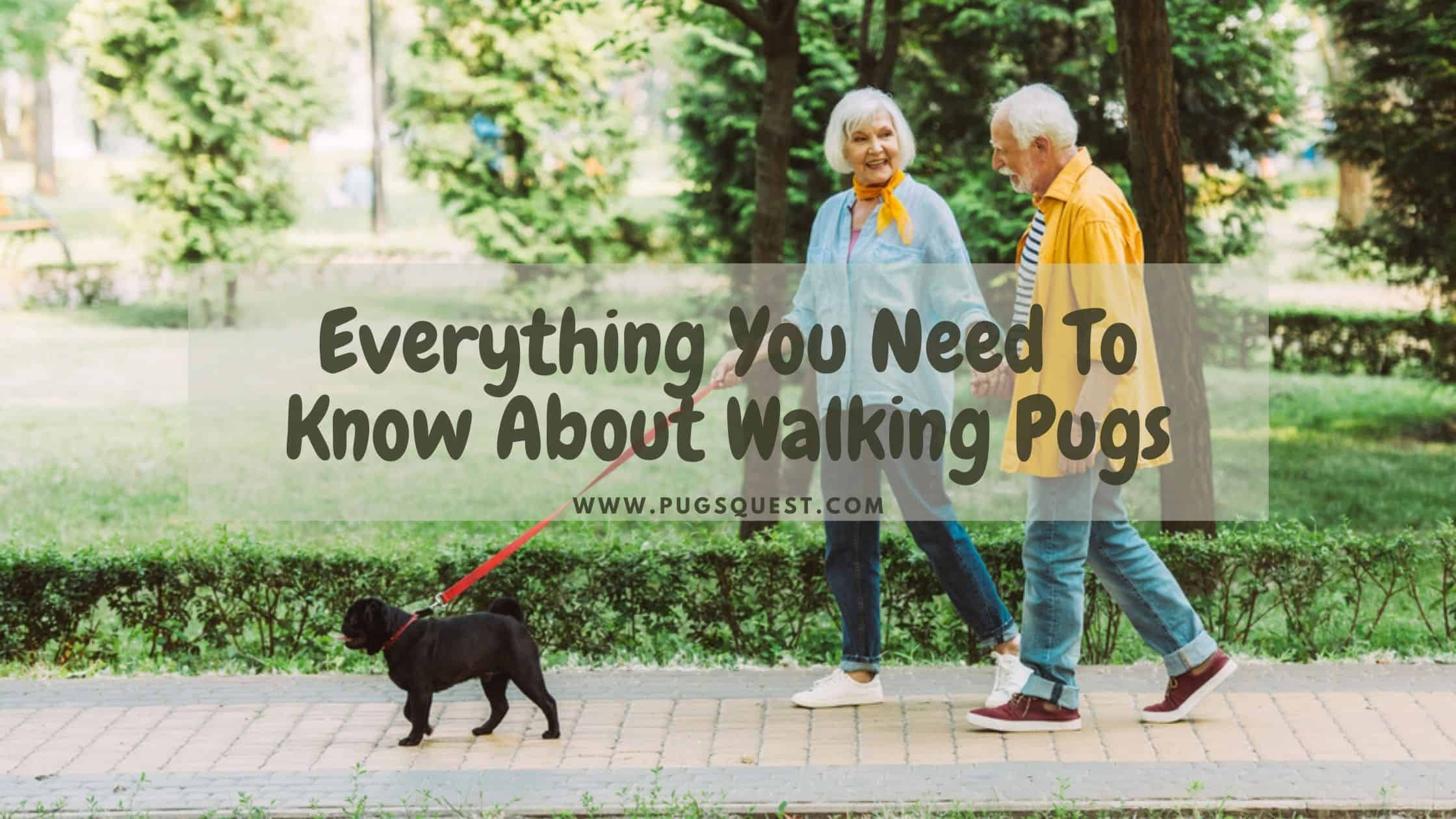 Everything You Need To Know About Walking Pugs